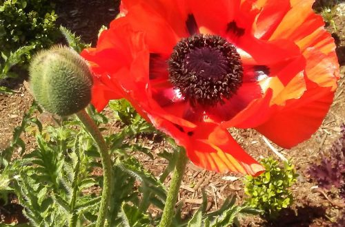 Blooming Red Poppies in My Yard