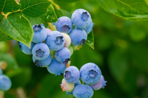 beautiful delicious blueberries on a stem